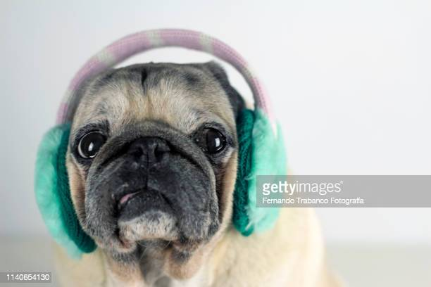 dog with earflaps - one animal stock pictures, royalty-free photos & images