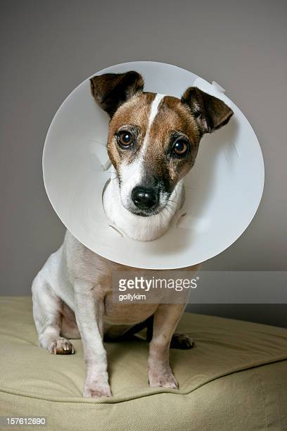 dog with elizabethan collar sitting on an ottoman - elizabethan collar stock photos and pictures