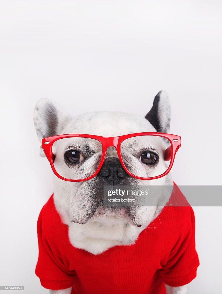 Dog with eyeglasses : Stock Photo