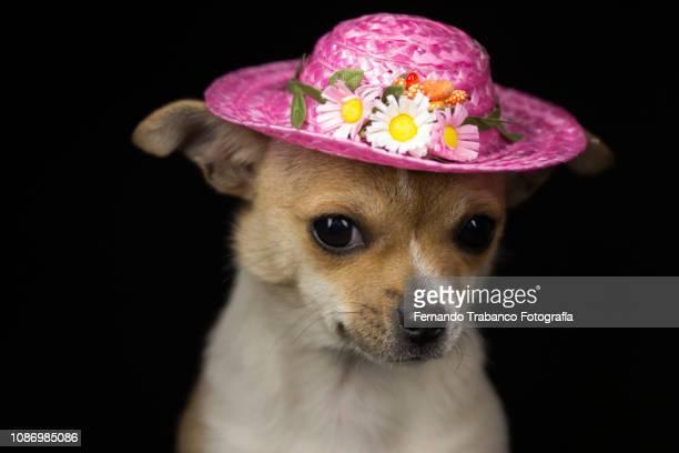 dog with flower hat - printemps humour photos et images de collection