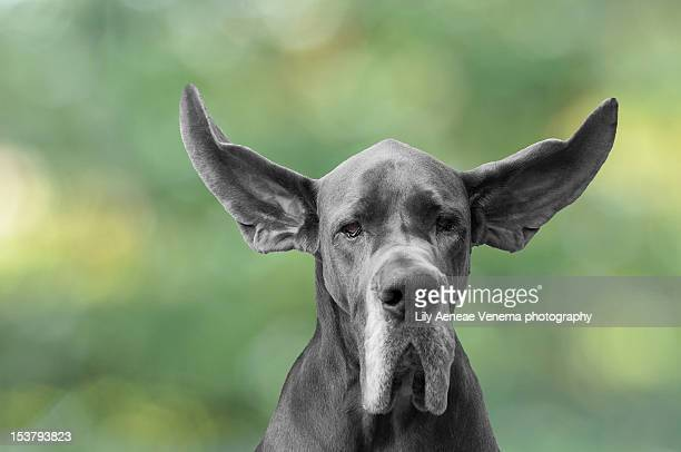 dog with flying ears - animal ear stock photos and pictures