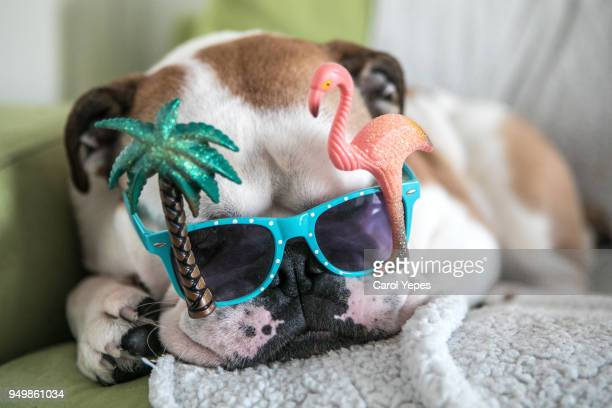 dog with funny summer  glasses - funky stock pictures, royalty-free photos & images