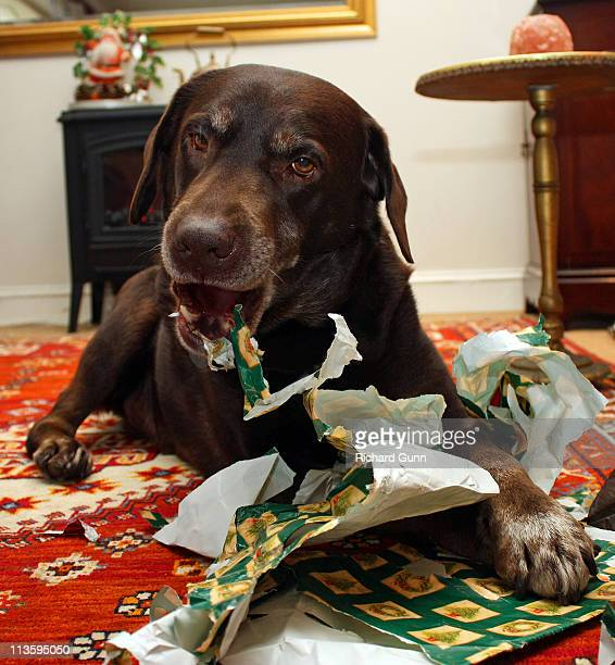Dog with gift paper at Christmas