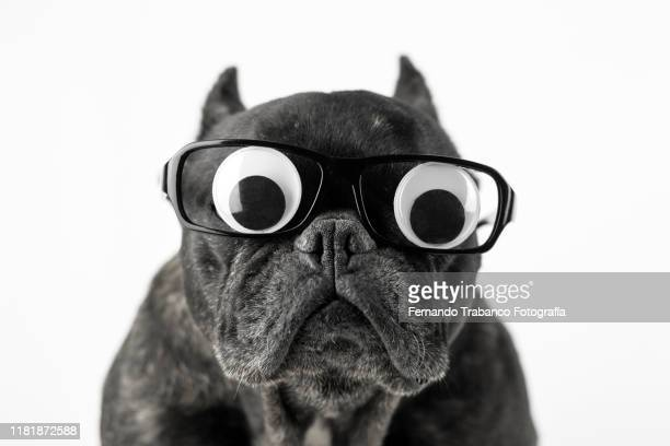 dog with glasses and bulging eyes - animal body part stock pictures, royalty-free photos & images