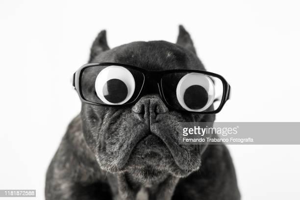 dog with glasses and bulging eyes - parte del corpo animale foto e immagini stock