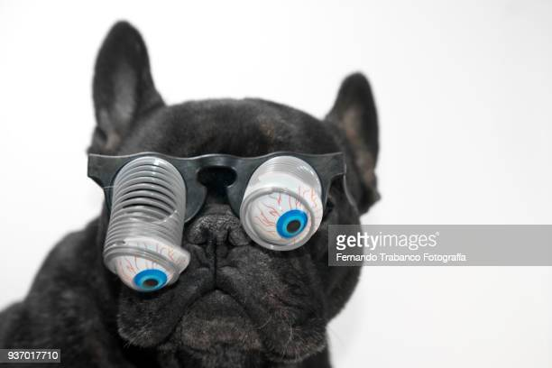 dog with glasses and bulging eyes - funny birthday stock photos and pictures
