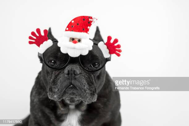 dog with glasses at christmas - young animal stock pictures, royalty-free photos & images