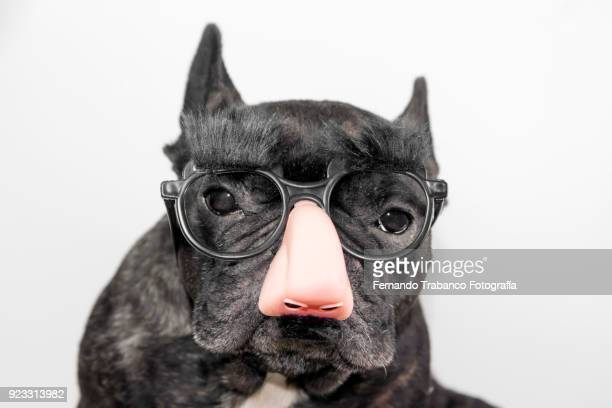 dog with glasses, mustache and eyebrows - big nose stock photos and pictures