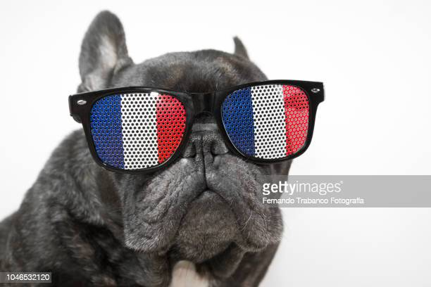 dog with glasses of french flag - bulldog frances imagens e fotografias de stock