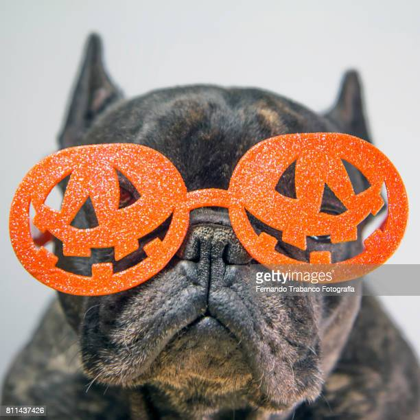 Dog with glasses pumpkin on halloween