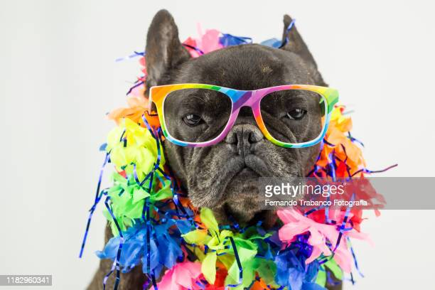 dog with glasses rainbow flag - pampered pets stock pictures, royalty-free photos & images