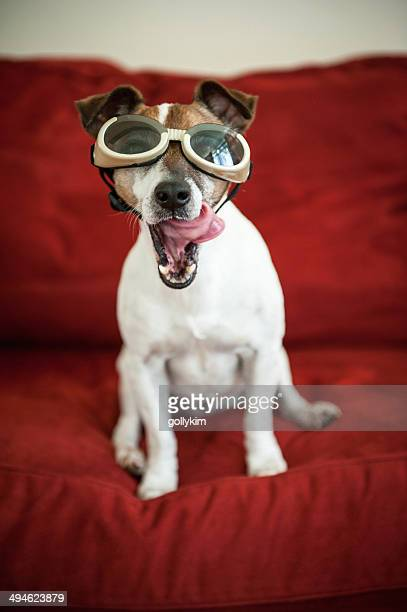 Dog with goggles and tongue sticking out
