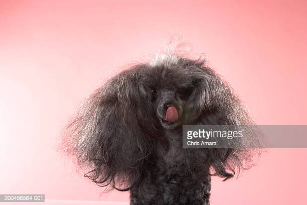 Dog with hair in front of face and tongue out
