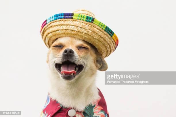 dog with hat smiling - hoofddeksel stockfoto's en -beelden