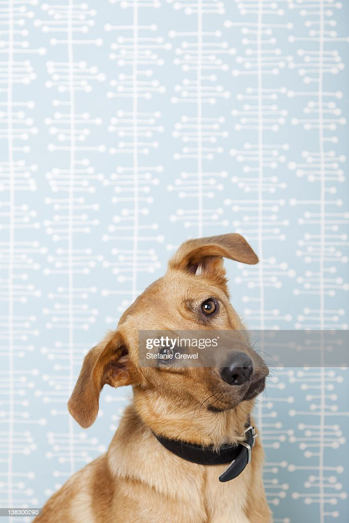Dog with head cocked indoors : Stock Photo