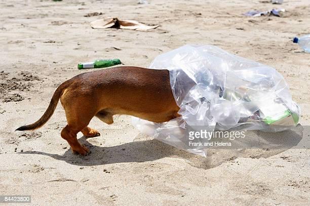 dog with head in garbage bag - helena price stock-fotos und bilder