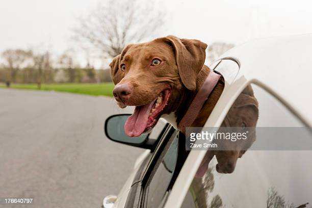 dog with head sticking out of car window - dierenkop stockfoto's en -beelden