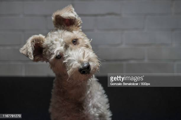dog with head tilted - head cocked stock pictures, royalty-free photos & images
