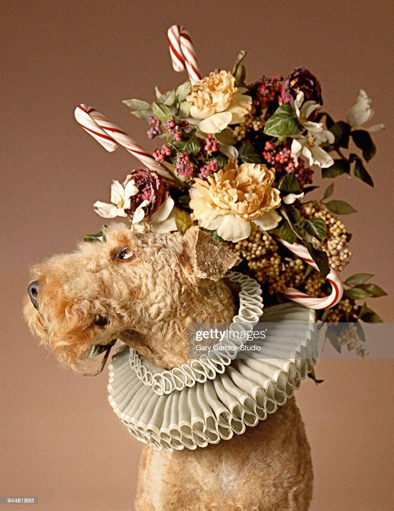 Dog with headpiece : Stock Photo