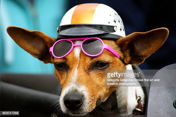 Dog with Helmet and Sunglasses