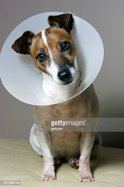 dog with her elizabethan collar - elizabethan collar stock photos and pictures