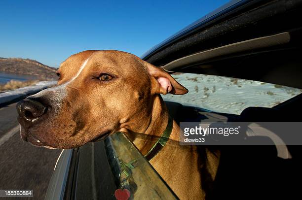 Dog With His Head Out a Car Window