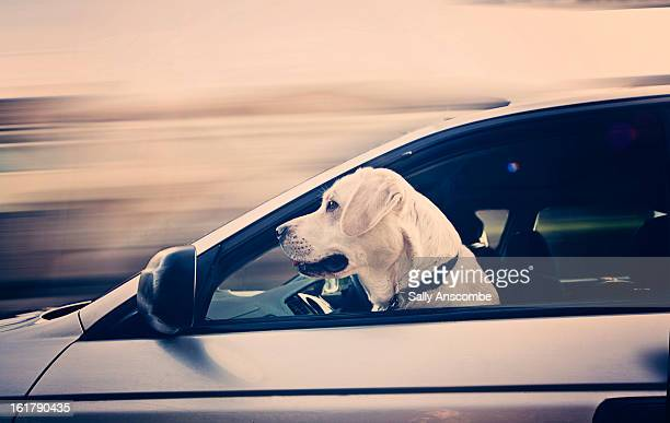 Dog with his head out of the car window