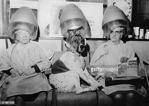 A dog with its fur set in curlers at George Constantinides' hairdressing salon on Hornsey Road London December 1968