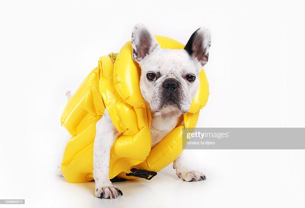 Dog with jacket : Stock Photo