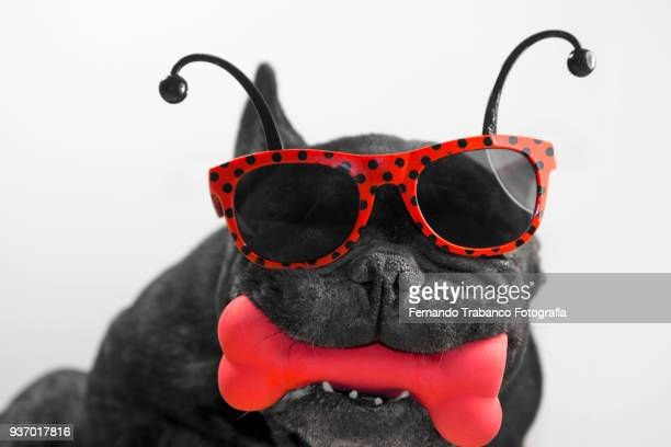 dog with ladybug glasses and red bone - christmas beetle stock pictures, royalty-free photos & images