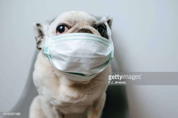 dog with medical mask - funny animals stock pictures, royalty-free photos & images