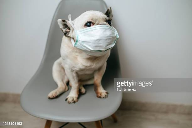 dog with medical mask - funny surgical masks stock pictures, royalty-free photos & images