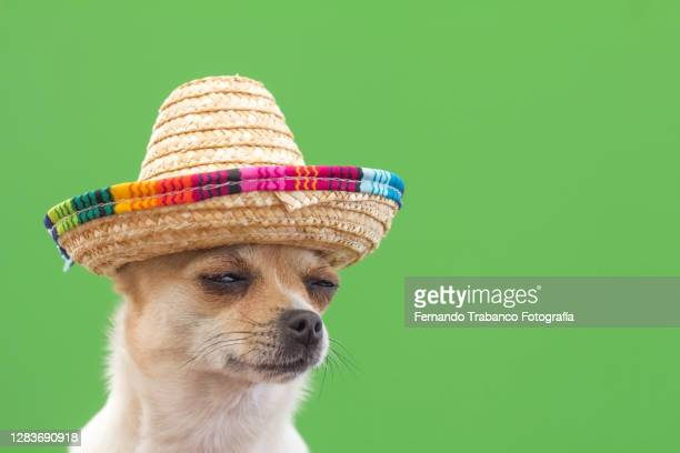 dog with mexican hat on green background - mexico stock pictures, royalty-free photos & images