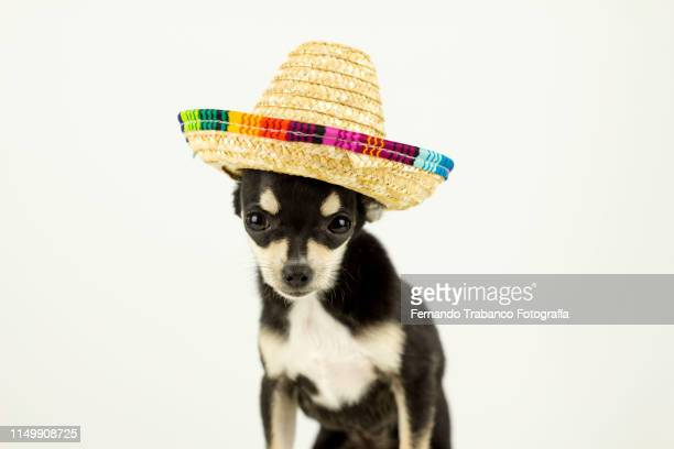 dog with mexican hat - mexican hat stock pictures, royalty-free photos & images
