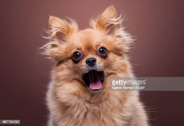 Dog with mouth open against brown background