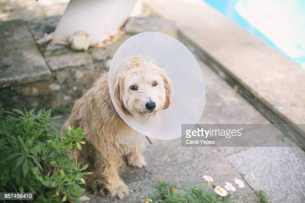 dog with pet cone - cone shape stock photos and pictures