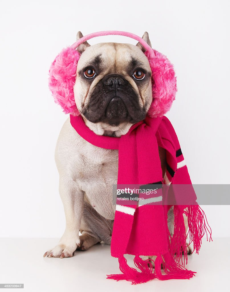 dog with pink earmuffs and scarf : Stock Photo