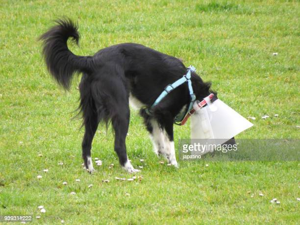 dog with protection collar in a public park - neck ruff stock pictures, royalty-free photos & images