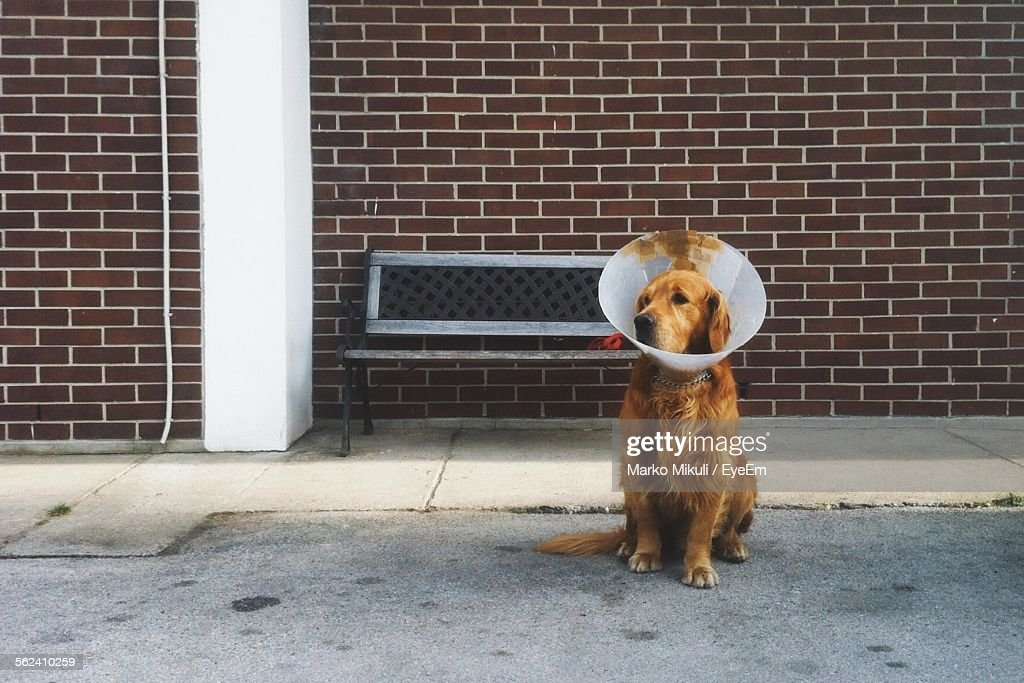 Dog With Protective Collar Relaxing On Street : Stock Photo