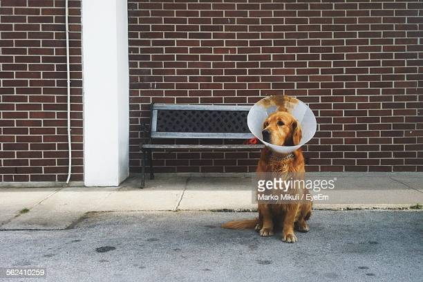 dog with protective collar relaxing on street - elizabethan collar stock photos and pictures