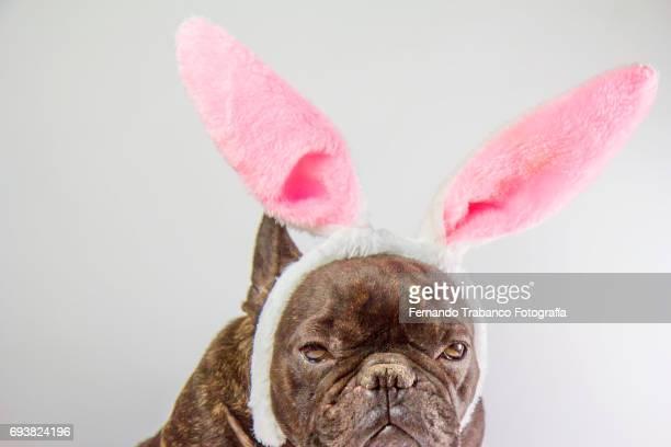 Dog with rabbit costume