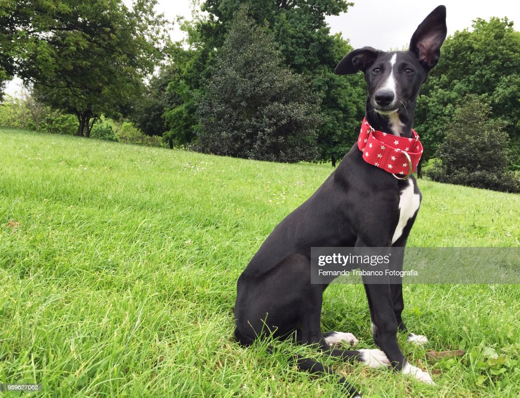 Dog with raised ear : Stock-Foto