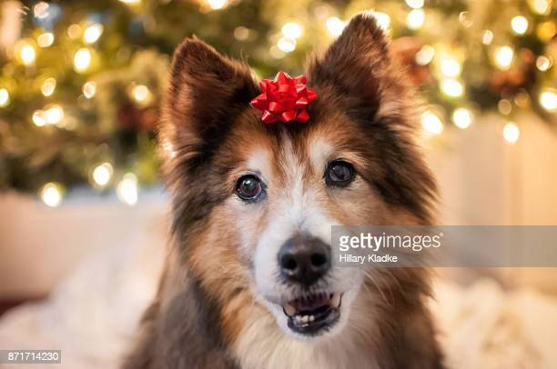 dog with red bow on head - hair bow stock pictures, royalty-free photos & images