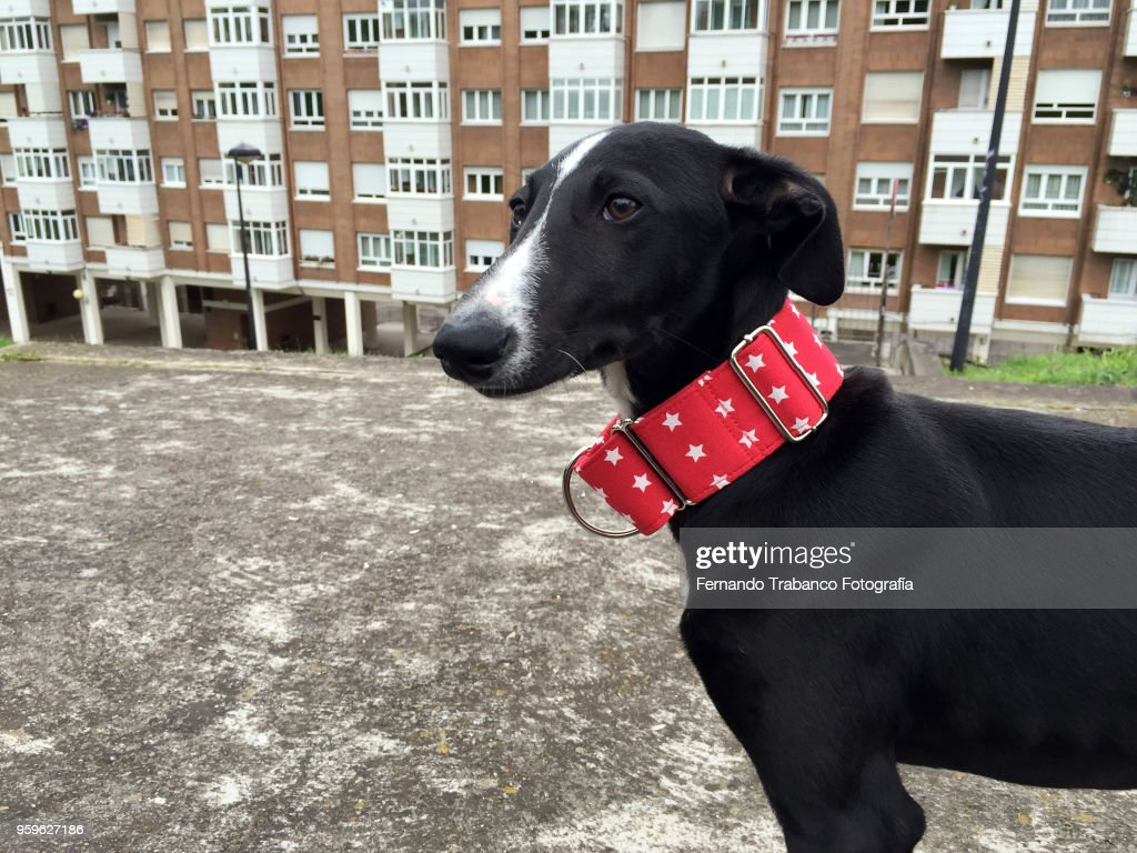 Dog with red collar : Stock-Foto