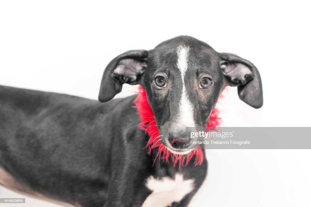 Dog with red feather boa : Stock Photo