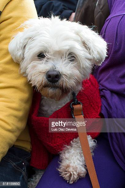 dog with red sweater - chinook dog stock photos and pictures
