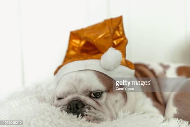dog with santa hat - bulldog frances imagens e fotografias de stock