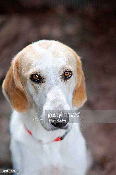 dog with sensitive eyes - coonhound stock pictures, royalty-free photos & images