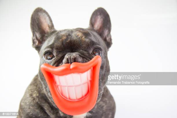 dog with smile and open mouth showing teeth - practical joke stock photos and pictures