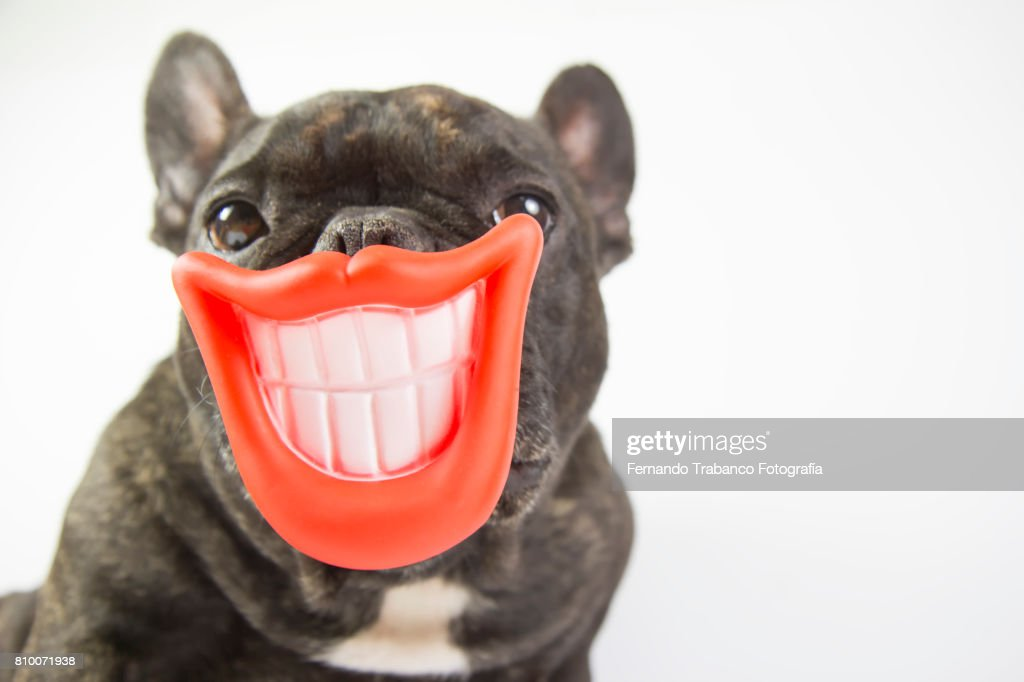Dog with smile and open mouth showing teeth : Stock Photo